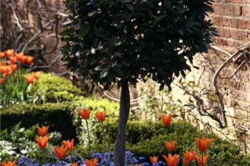 bay tree, tulips and perennial forget-me-nots at Caversham Court