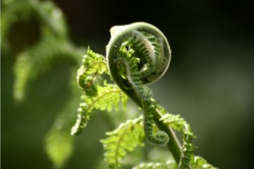 tree fern fiddleheads