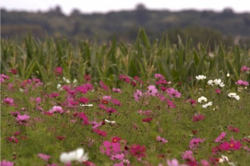 cosmos meadow
