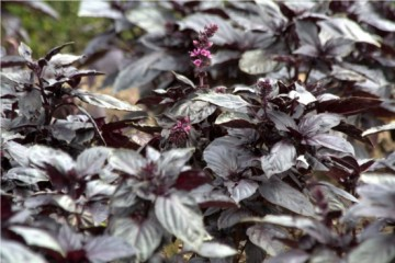 purple-leaved basil at Villandry