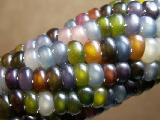 Glass Gem Corn from the Seeds Trust