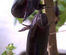 lovely aubergine